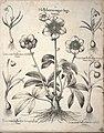 Hortus Eystettensis, 1640 (BHL 45339 383) - Classis Autumnalis 43.jpg