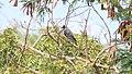 House Crow (Corvus splendens) (46574982061).jpg