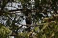 House crow thirupanjeeli JEG0252.jpg