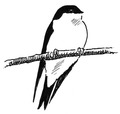 Huiszwaluw Delichon urbica Jos Zwarts 12.tif