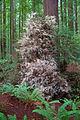 Humboldt Redwoods 'albino'.jpg