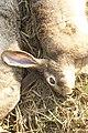 Hunting hare Lepus nigricollis MG 5312 10.jpg