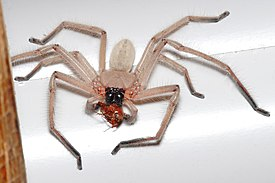 Huntsman spider with meal.jpg