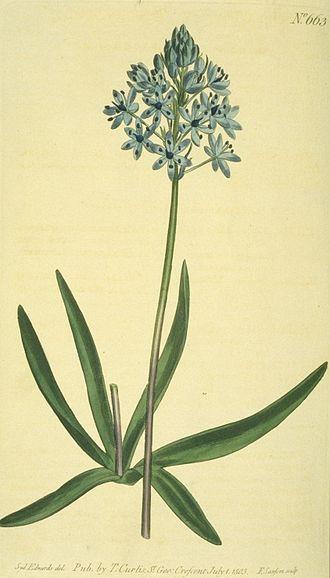 Hyacinthoides italica - Image: Hyacinthoides italica 613