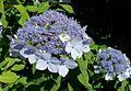 Hydrangea macrophylla - UBC Botanical Garden - Vancouver, Canada - DSC08515.jpg