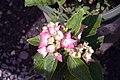 Hydrangea macrophylla Pia 0zz.jpg