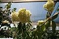 Hydrangea paniculata Grandiflora 3zz.jpg