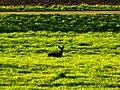 Hyena - panoramio.jpg