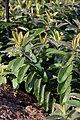 Hypericum calycinum 5zz.jpg