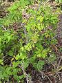 Hypericum grandifolium.jpg