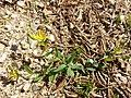 Hypericum humifusum sl4.jpg