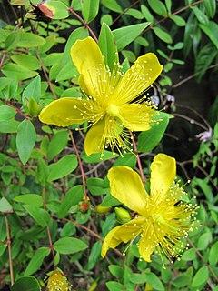 <i>Hypericum kouytchense</i> species of plant