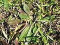 Hypochaeris radicata rosette5 (14632600415).jpg