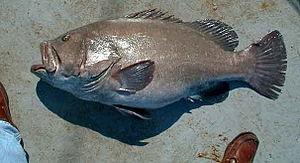 Hyporthodus - Hyporthodus nigritus