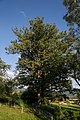 ID 775 Quercus Spielberg 006.jpg
