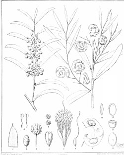 Iconography of Australian species of Acacia and cognate genera (1887) (20558947860).jpg