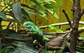 Iguane (5958072481).jpg