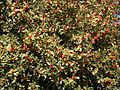 Ilex aquifolium 32 ies.jpg