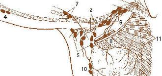 Axillary lymph nodes - 2. Axillary lymphatic plexus 4. Cubital lymph nodes (not part of the lymph node drainage of the breast) 5. Superficial axillary (low axillary) 6. Deep axillary lymph nodes 7. Brachial axillary lymph nodes 8. Interpectoral axillary lymph nodes (Rotter nodes) 10. Paramammary or intramammary lymph nodes 11. Parasternal lymph nodes (internal mammary nodes)