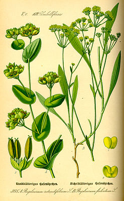 Rundblättriges Hasenohr (Bupleurum rotundifolium), links, und Sichelblättriges Hasenohr (Bupleurum falcatum), rechts, Illustration