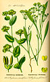 Illustration Bupleurum rotundifolium0.jpg
