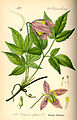 Illustration Clematis alpina0.jpg