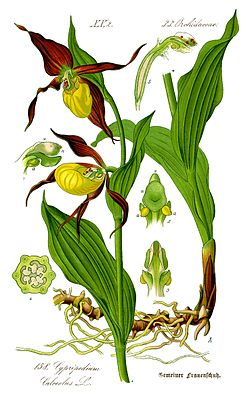 http://upload.wikimedia.org/wikipedia/commons/thumb/b/bd/Illustration_Cypripedium_calceolus0_clean.jpg/250px-Illustration_Cypripedium_calceolus0_clean.jpg