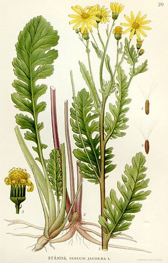 Jacobaea vulgaris - Image: Illustration Senecio jacobaea