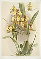 Illustration from Reichenbachia Orchids by Frederick Sander, digitally enhanced by rawpixel-com 064.jpg