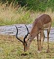 Impala (Aepyceros melampus) drenched male grazing ... (51108595338).jpg