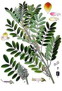 Indigofera suffruticosa - Köhler–s Medizinal-Pflanzen-076