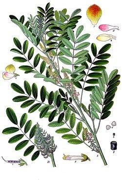 meaning of indigofera suffruticosa