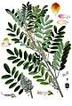 Indigofera suffruticosa - Köhler–s Medizinal-Pflanzen-076.jpg