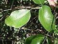 Intsia bijuga feuilles.jpg