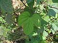 Ipomoea nil leaf.JPG