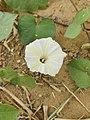 Ipomoea obscura, the obscure morning glory or small white morning glory.jpg