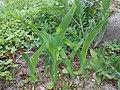 Iris aphylla ssp. hungarica 2016-05-09 0021.jpg