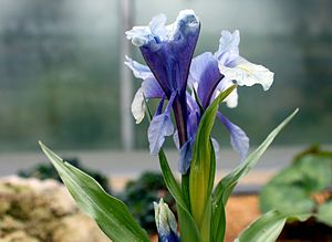 Iris cycloglossa - Image: Iris cycloglossa (5467747421)
