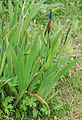 Iris setosa02.jpg