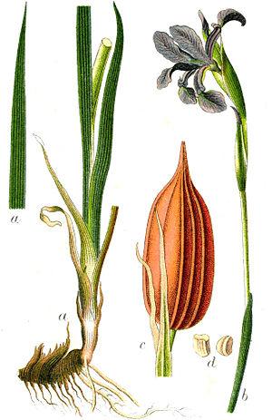 "Iris spuria - Iris spuria illustration in: Jakob Sturm: ""Deutschlands Flora in Abbildungen"" Stuttgart (1796)"