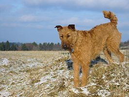 Irish terrier.jpg