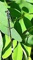 Ischnura elegans Kiev2.JPG