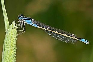 "A female bluetail damselfly <br class=""prcLst"" />(<em><a href=""http://search.lycos.com/web/?_z=0&q=%22Ischnura%20heterosticta%22"">Ischnura heterosticta</a></em>)"
