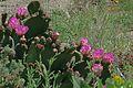J20160428-0122—Opuntia basilaris—RPBG (26700914955).jpg