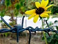 JNU Sunflower behind Fence.jpg