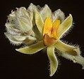 Jacksonia floribunda - Flickr - Kevin Thiele (1).jpg
