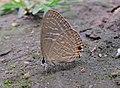 Jamides alecto Felder, 1860 – Metallic Cerulean - Begur Butterfly Survey 02.jpg