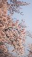 Japan Sakura (15415785000).jpg