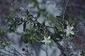Jaquemontia cayensis. Climber. Great Harbour Key or Jaquemontia havanensis (24005199037).jpg