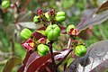 Jatropha gossypiifolia - Bellyache Bush - at Beechanahalli 2014 (8).jpg